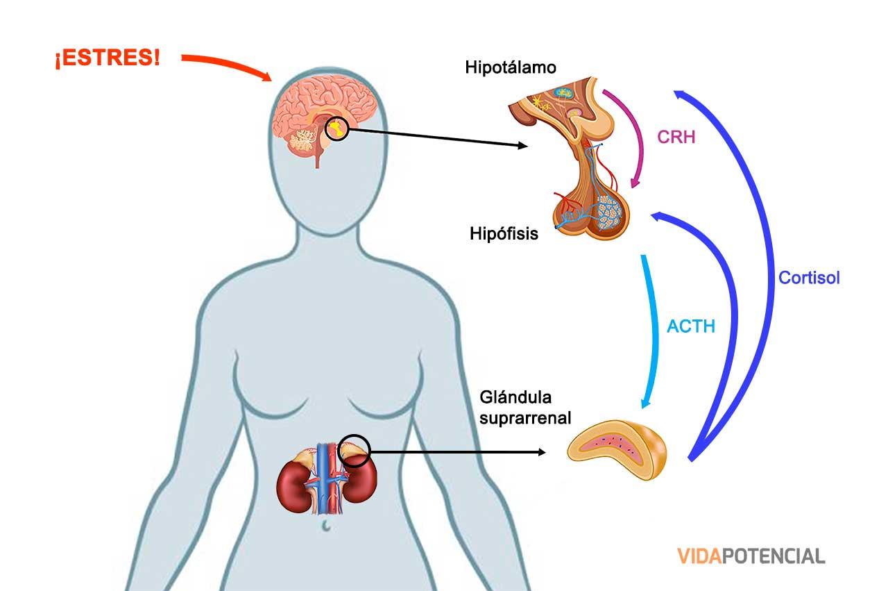 Eje hipotálamo hipófisis adrenal
