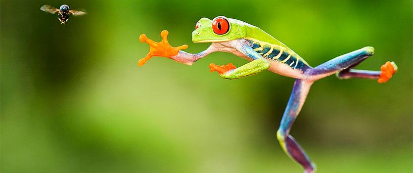 Salto de la rana