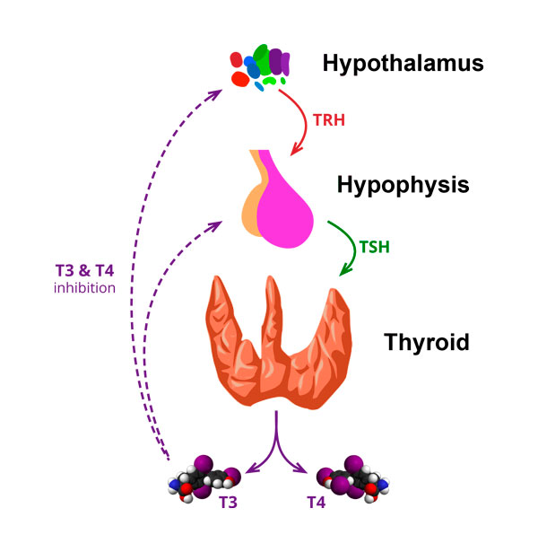 Hashimoto S Thyroiditis Symptoms And Treatment Vida Potencial