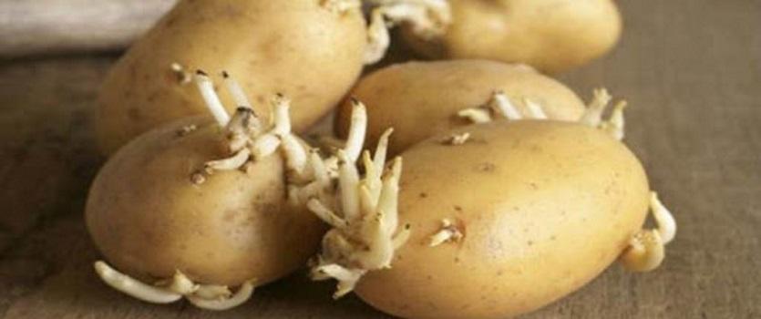 patata solanina