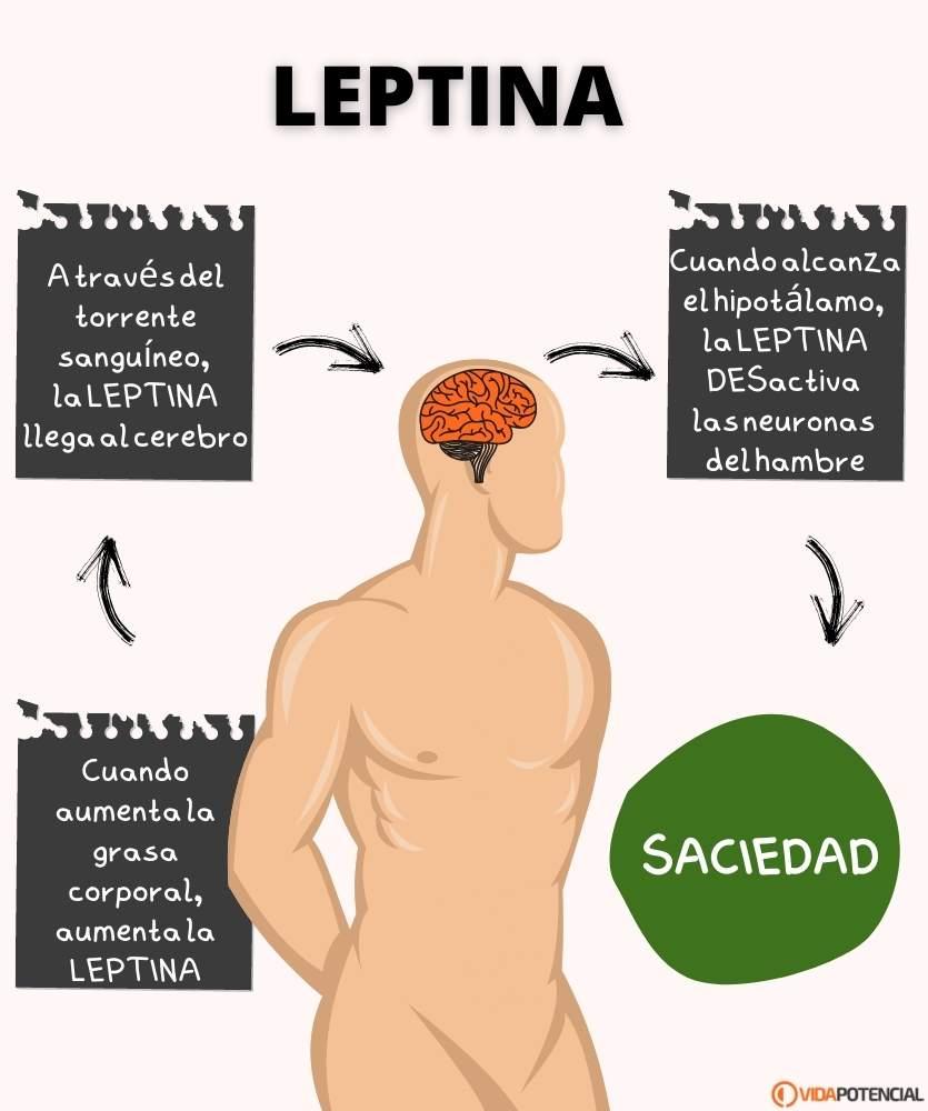 que es la leptina hormona saciedad